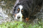 Paddy in a Stream